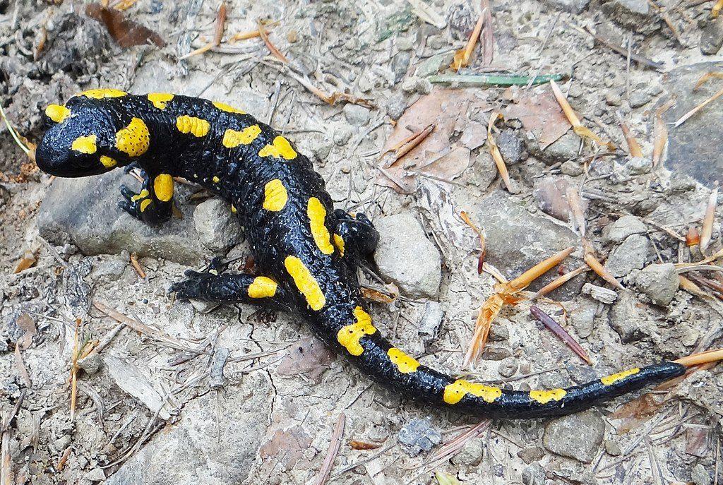 Salamandrę plamistą możemy spotkać na Pogórzu Kaczawskim – Foto: Jerzy Opioła Źródło: wikimedia.org