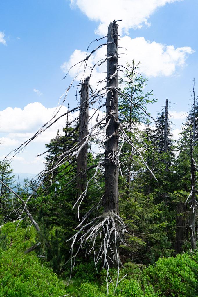 Gdzieniegdzie występujące kikuty starych uschniętych drzew są pozostałością po klęsce ekologicznej, która nawiedziła Karkonosze w latach 80. ubiegłego wieku